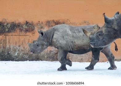 Tallinn, Estonia - March 18. 2018: Eastern black rhinoceros baby runs on a snow in Tallinn Zoo
