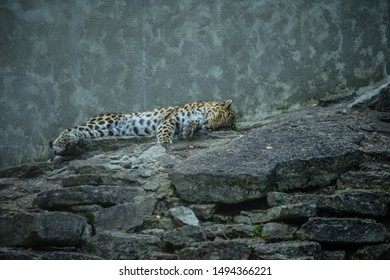 Tallinn / Estonia - September 01 2019: Jaguar (Latin: Panthera onca), a large felid species the only extant member of the genus Panthera native to the Americas. Big cat having a rest on rocky ground.
