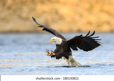 Talon out, the Bald Eagle has spotted its prey and diving down to hunt.