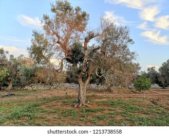 taly, serious problem of sick olive trees, xylella, economic difficulty due to the lack of oil production. poetic landscape of Puglia