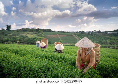 Tam Chau Plantation, Bao Loc, Lam Dong province, Vietnam - Jun 1, 2019: Women in the farm are picking and harvesting tea on the hill in the early morning at Tam Chau tea plantation, Bao Loc,VN