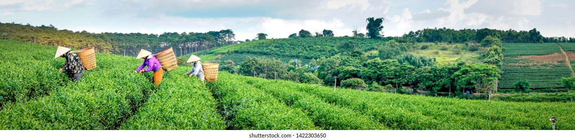 Tam Chau Tea Plantation, Bao Loc, Lam Dong province, Vietnam - Jun 1, 2019: Panoramic images women at tea farm are picking, harvesting tea on hills in the early morning at  tea farm Tam Chau, Bao Loc,