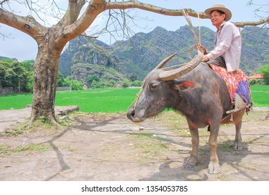 Tam Coc, Vietnam -April 17,2008 : Old vietnamese farmer riding a buffalo for  going to work  during early morning at Tam Coc, Vietnam