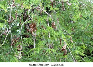 Tamarind green tree and tamarind brown fruits