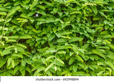 Tamarind leaves on tree background.