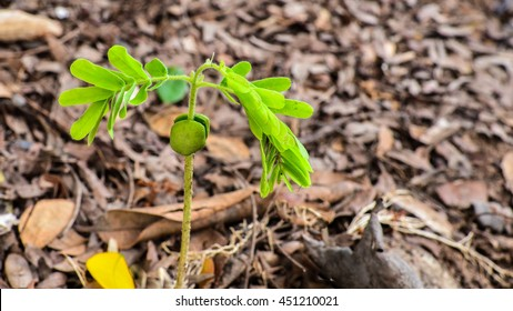 Tamarind seed Insert growing sprout from soil cover Straw or hay.