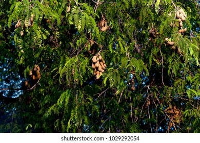 Tamarind tree grow high up background