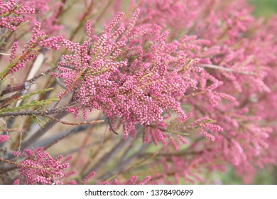 Tamarix gallica, French tamarisk -  deciduous, herbaceous, twiggy shrub covered with pink flowers