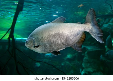 Tambaqui (Colossoma macropomum) or the giant pacu. Freshwater fish