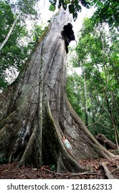 Tambopata National Reserve in the Amazon Basin, Peru - August 16th 2012: Caucasian woman with red hair leaning against a huge Kapok tree in the rainforest