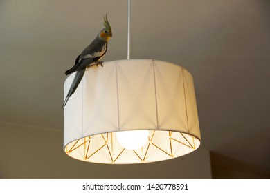 A tame cockatiel exploring inside a home
