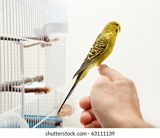 A tame domestic tropical bird sitting on a human finger outside cage