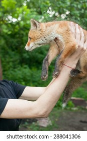 A tame fox cub in the hands of the mistress
