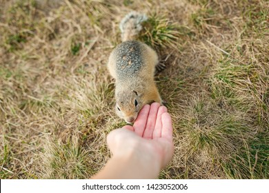 tame gopher in the grass eats with hands, close up, horizontally