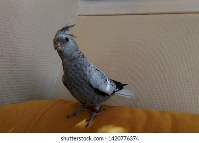 A tame, hand-reared pearl whiteface cockatiel pet bird
