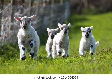 Tame livestock lambs come running towards the farmer in their grass field on a sunny day. This is a high welfare farm in Wales, United Kingdom