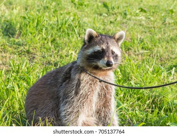 A tame Raccoon with leading reins is sitting on a meadow.