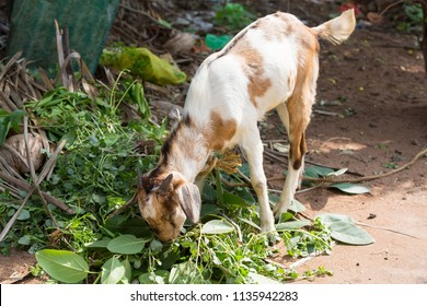 tamed white and brown goat eats the leaves of shrubs