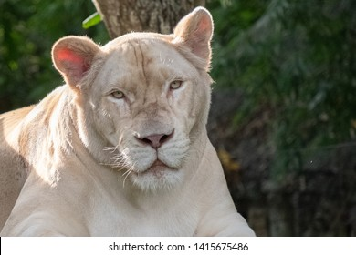 Tamed white lioness in captivity