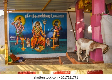 TAMILNADU, INDIA - FEBRUARY 09, 2016:  A stray goat near a temple in Coimbatore.