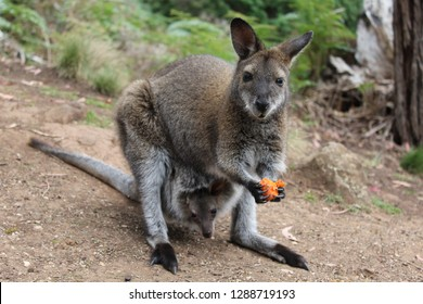 Tammar Wallaby eating a carrot with a joey in her pouch.  Australia.