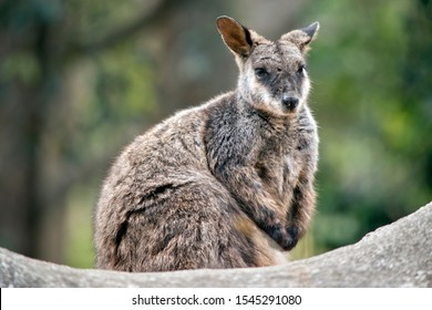 the tammar wallaby is resting on a rock