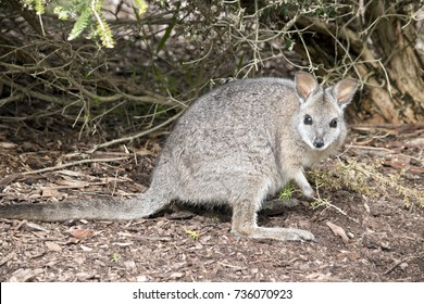 the tammar wallaby is searching for food