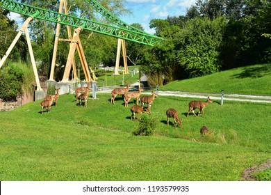 Tampa, Florida; September 29, 2018. Nyalas and Cheetah Hunt Rollercoaster at Bush Gardens . Nyalas are a rather large antelope that inhabits the dense  Africa forest.