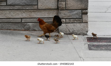 Tampa. March 21 2021: A wild Ybor City hen with her brood.
