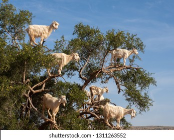 Tamri goats climbing on argan trees, Morocco. On the way to Essaouira from Marrakech, we find this typical and curious scene.
