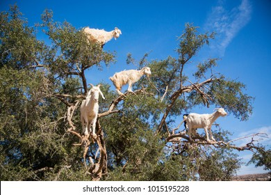 Tamri goats climing on argan trees  in Morocco, Africa. Argan Oil is produced by using the seeds of the trees and is used for skin care, cosmetics and beauty products
