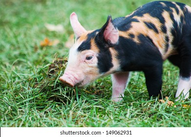 A Tamworth Berkshire cross piglet delights in rooting in the grass on its first trip out of the barn.