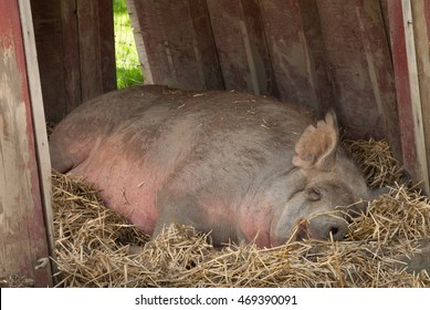 Tamworth pig sleeping on hay in an old wooden red barn.