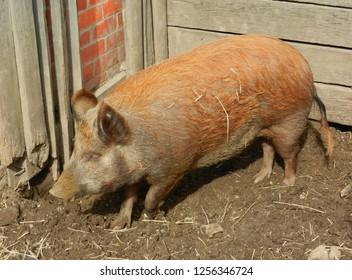 Imagenes Fotos De Stock Y Vectores Sobre Pig Sty Shutterstock