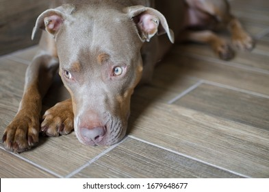 A tan American Pit Bull Terrier dog lying on a faux wood tile floor looking away from camera with copy space to add text or wording. Canine animal background with blank area to add words.