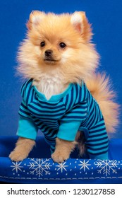 Tan Colored Pomeranian Puppy Stands in Dark Blue and Aquamarine Striped Pajamas in a Blue and White Snowflake Basket for the Winter Holidays