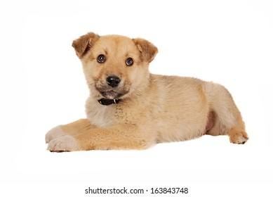 A tan coloured puppy on white.