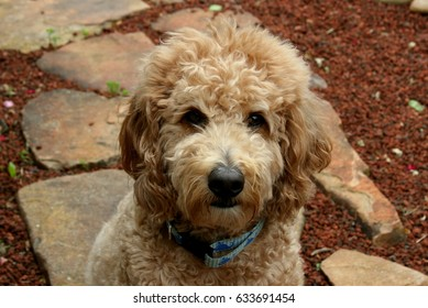 Tan Goldendoodle Sitting on Stone Path