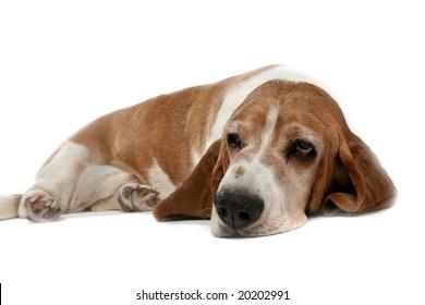tan high key basset hound on it's stomach