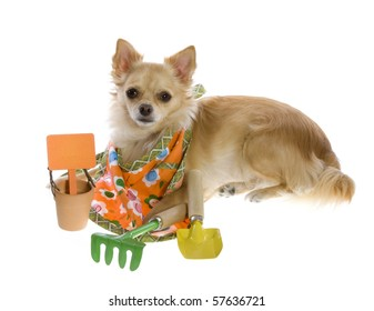 Tan Long Hair Chihuahua Puppy Lying on Floor with gardening supplies:  empty clay pot with an orange sign, a digging trowel, and a hand rake, wearing a garden apron. Isolated on white