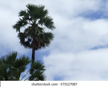 Tan or Plam and blue sky Thailand tree
