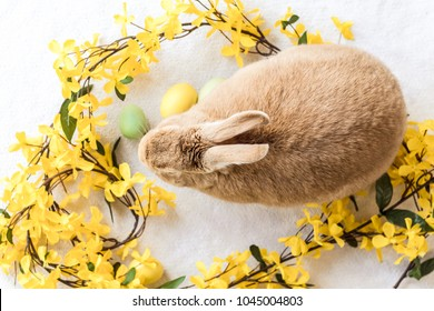 Tan and Rufus Easter bunny rabbit with yellow spring forsythia flowers on white textured floor, flat lay