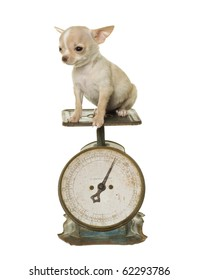 Tan and white chihuahua puppy on an antique green and rust household weight scale with round dial, numbers going up to twenty pounds, weighing 1 pound. isolated on white.