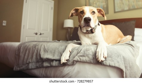 Tan and White Colored Dog Relaxing on Bed in Hotel Room