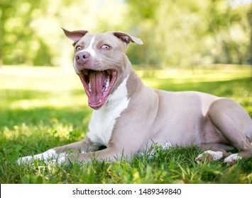 A tan and white Pit Bull Terrier mixed breed dog lying in the grass with a happy expression