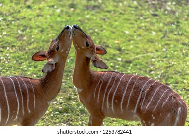 Tan with White Striped Fur on a Pair of Nyala Deer Nuzzling