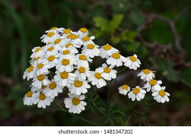 Tanacetum corymbosum is a flowering plant in the aster family, Asteraceae, Greece
