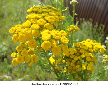 Tanacetum vulgare in the green summer meadow. Wildflowers tansy yellow background. Yellow flowers close up. Tanacetum vulgare common tansy is a medical herb.