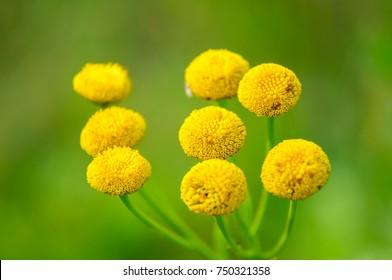Tanacetum vulgare or tansies