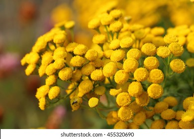 Tanacetum vulgare. Yellow flowers close up